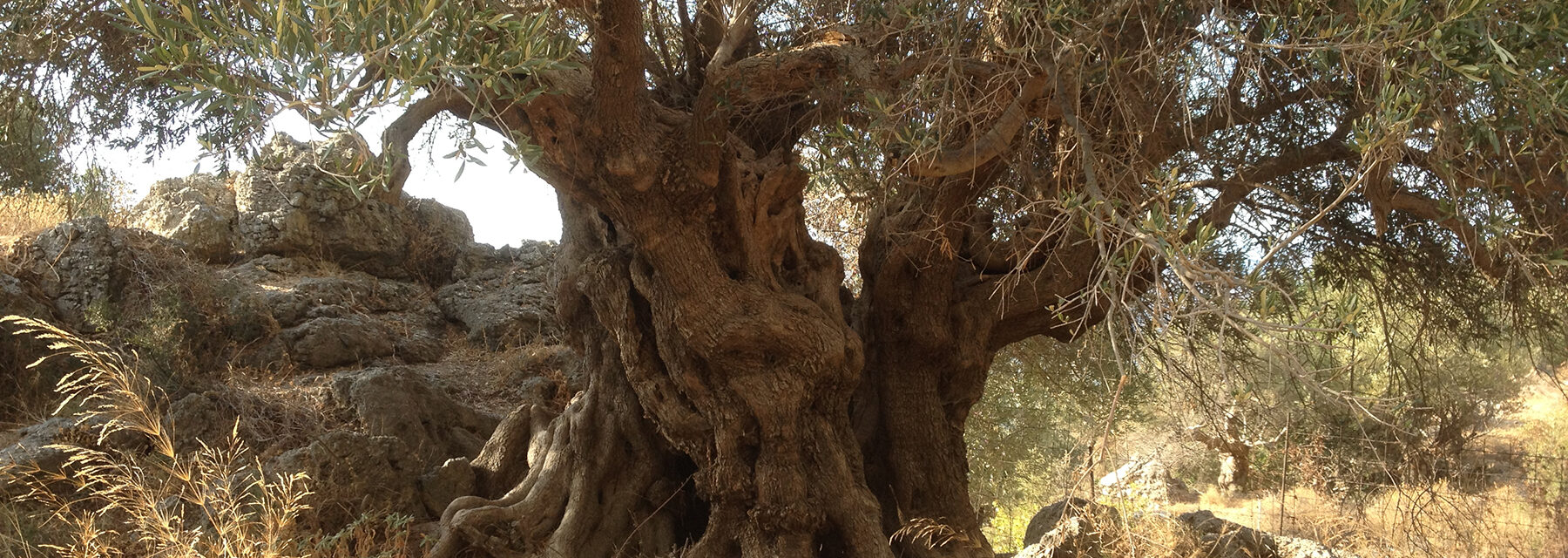 ancient olive tree in Crete